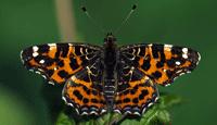 Landkaartje, zo heet deze vlinder