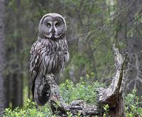 Mooiste vogelreizen in Finland