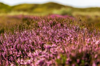 Heide bloeit al op Texel | Paarse heidevelden in 2015