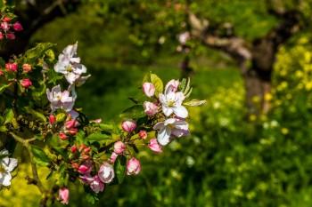 Fruitbomen bloeien volop in 2016 | Linge & Mariënwaerdt