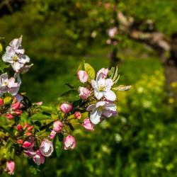 Fruitbomen bloeien weer volop in de Betuwe