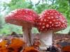 paddenstoel13.jpg